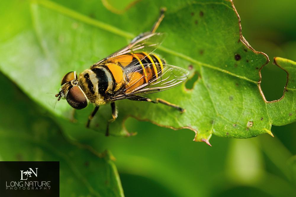 Palpada vinetorum - syriphid fly. Photographed at Lady Lake Florida USA