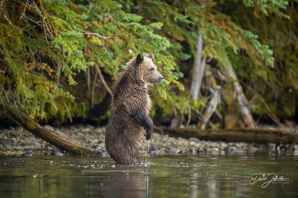 Grizzly bear (Ursus arctos)- First-year cub following mother as she hunts for spawning salmon along shore of the Chilko River, Chilcotin Wilderness, BC Interior, Canada, Chilcotin Wilderness, BC Interior, Canada