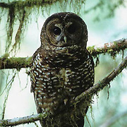Spotted Owl, (Strix occidentalis) In the old growth forest of Olympic National Forest. Washington. Captive Animal.