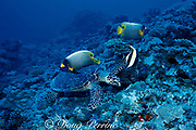 hawksbill sea turtle, Eretmochelys imbricata, feeding on coral rubble with blueface angelfish, Pomacanthus xanthometopon, and moorish idol, Zanclus cornutus, waiting for scraps, Layang Layang Atoll, Malaysia  ( South China Sea )