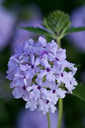 Verbena 'Blue Prince'