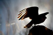 Sao Roque de Minas_MG, Brasil...Paisagens e personagens na Serra da Canastra. Na foto um carcara (Polyborus plancus)...The landscape in Serra da Canastra. In this photo, the Southern Caracara (Polyborus plancus)...Foto: LEO DRUMOND /  NITRO