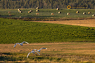 Trumpeter Swans in flight in the Flathead Valley, Montana, USA