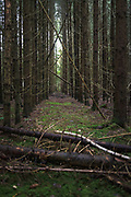 Lines of trees in spruce (Picea abies) forest plantations with few of trees dead from lack of nutritions, near Rubene, Vidzeme, Latvia Ⓒ Davis Ulands | davisulands.com