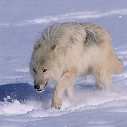 Arctic wolf(Canis lupus tundriarum) adult running. Winter