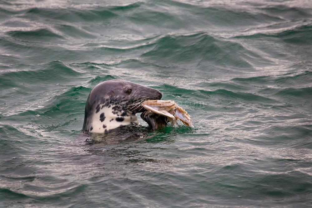 Grey Seal, Halichoerus grypus, eating a fish in Skerries, Dublin