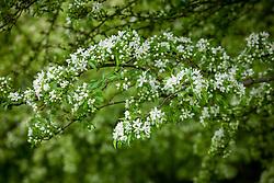 Malus transitoria in blossom. Cut-leaf crabapple