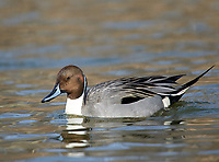 Northern Pintail (Anas acuta), George C Reifel Migratory Bird Sanctuary, Vancouver , British Columbia, Canada