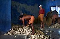 Inde, Etat du Kerala, Kochi ou Cochin, Fort Cochin le centre historique, quartier des epices, entrepot de gingembre // India, Kerala State, Fort cochin or Kochi, spices area, worker in the ginger warehouse