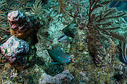 Stoplight Parrotfish (Sparisoma viride)<br /> Hol Chan Marine Reserve<br /> near Ambergris Caye and Caye Caulker<br /> Belize<br /> Central America
