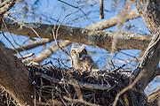 Owlet in nest peering at camera