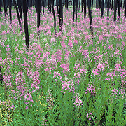 Fireweed flower growing in burnt timber during the late summer in Yellowstone National Park.