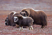 """Alaska; Muskox (Ovibos moschatus) calf, bull and cows on the autumn tundra of the Seward Peninsula, outside of Nome.  Muskox, called omingmak meaning """"the animal with skin lake a beard"""" by the local Inupiaq people."""