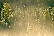 Conifers in morning fog<br /> Worthington<br /> Ontario<br /> Canada