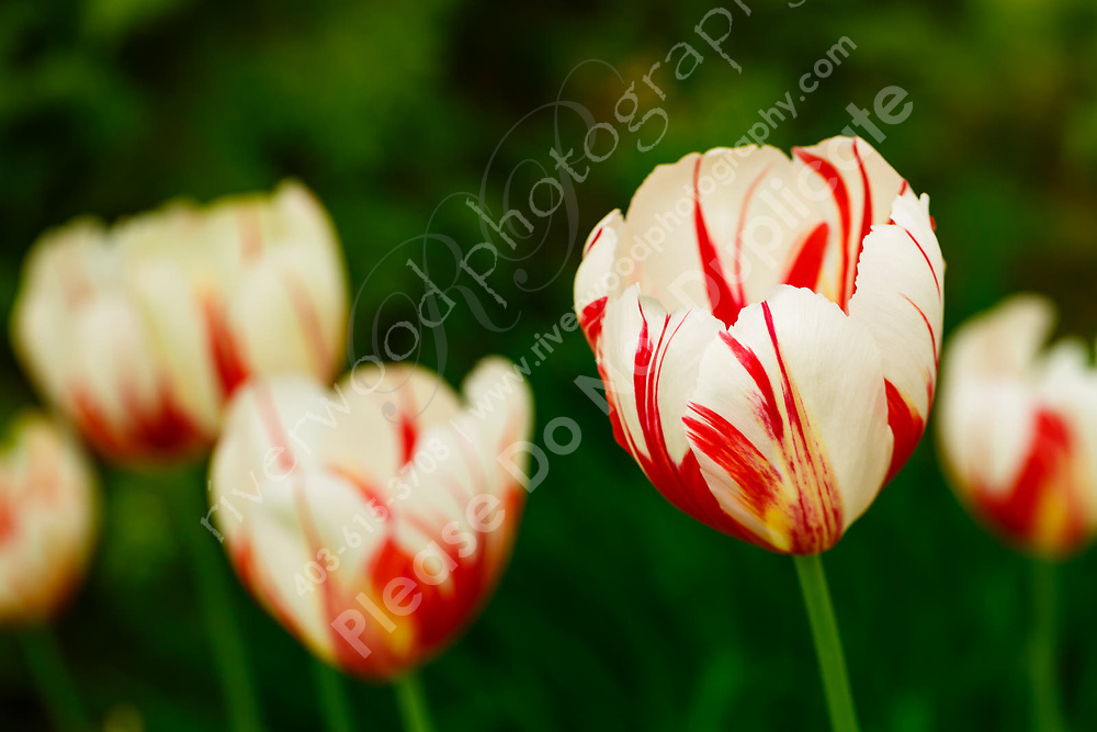 Tulips marketed by Home Hardware as the official tulip of the Canada 150 sesquicentennial celebration. The beautiful red and white petals resemble the maple leaf in the Canadian flag and many thousands have been planted all around Canada to celebrate Canada 150.<br /> <br /> ©2017, Sean Phillips<br /> http://www.RiverwoodPhotography.com