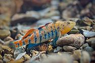 Orangethroat Darter<br /> <br /> Isaac Szabo/Engbretson Underwater Photography