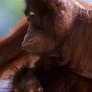 Orangutan, (Pongo pygmaeus) Portrait of mother and baby in rain forest. Borneo. Malaysia. Controlled Conditons.