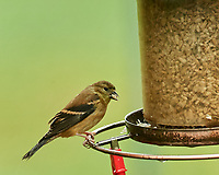 American Goldfinch. Image taken with a Nikon D5 camera and 200-500 mm f/5.6 VR lens