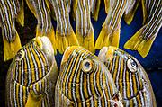 Ribbon Sweetlips (Plectorhinchus polytaenia)<br /> Bos Wesen Market<br /> Sorong<br /> West Papua<br /> Indonesia