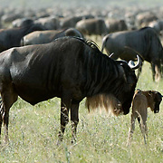 Blue Wildebeest (Connochaetes taurinus) Mother with new born calf during migration in Serengeti National Park. Tanzania. Africa. February.