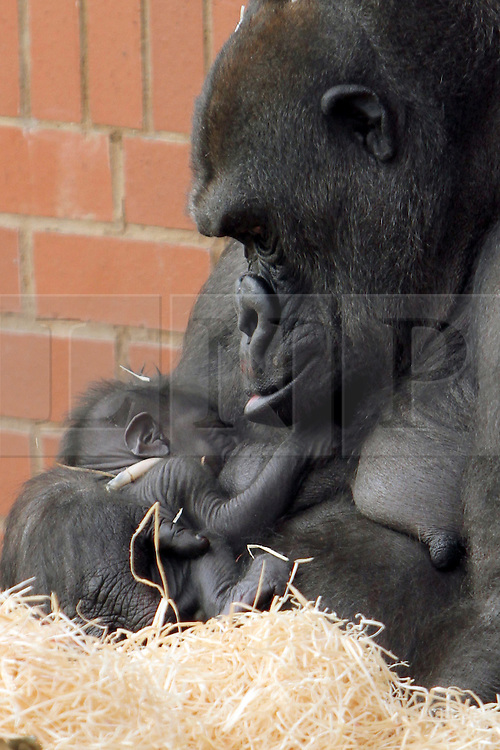 © Licensed to London News Pictures. 03/01/2013. Twycross, UK Twycross Zoo is extremely pleased to announce the safe arrival of a healthy baby western lowland gorilla, a critically endangered species. The baby gorilla was born at approximately 9.15am on Thursday 3rd January and mum and baby are both doing very well. Mum, Ozala, experienced a natural and stress-free birth and is keeping the new arrival very close to her. Curator of Living Collections, Charlotte Macdonald, said: ?Ozala is a confident, attentive mother and is taking great care of her baby. ?The baby's father, our silverback Oumbie, is gentle but protective and is showing a lot of interest in the infant. On the day of the baby's birth he was very inquisitive, sitting beside Ozala and putting his face right up to the baby to smell it.  In time, he will touch and play with the baby but for now he lets Ozala take things at her own pace.?. Photo credit : Twycross Zoo/LNP