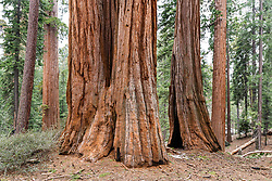 Sequoia Forest, Kings Canyon National Park.