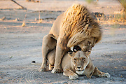 A mating pair of lions  (Panthera Leo) growl and show aggression during their three day mating ritual , Khwai River, Botswana