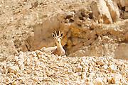 Israel, Negev, female Nubian Ibex (Capra ibex nubiana AKA Capra nubiana)