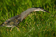Striated Heron (Butorides striata)<br /> Rain Forest<br /> Iwokrama Reserve<br /> GUYANA<br /> South America<br /> RANGE: Old World tropics from west Africa to Japan and Australia, and in South America.