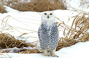 Snowy Owl, Nyctea scandiaca, Canada, in snowy landscape
