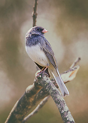 This Moody Junco Was Perched On A Dead Tree At The End Of Fall As The Cool Weather Settled In