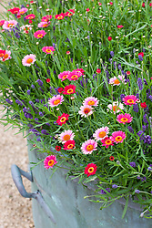 Argyranthemum 'Cherry Red' growing in a pot with <br /> Lavandula angustifolia 'Hidcote'