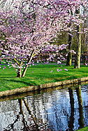 Cherry blossoms at Keukenhof Spring Tulip Gardens, Lisse, The Netherlands.