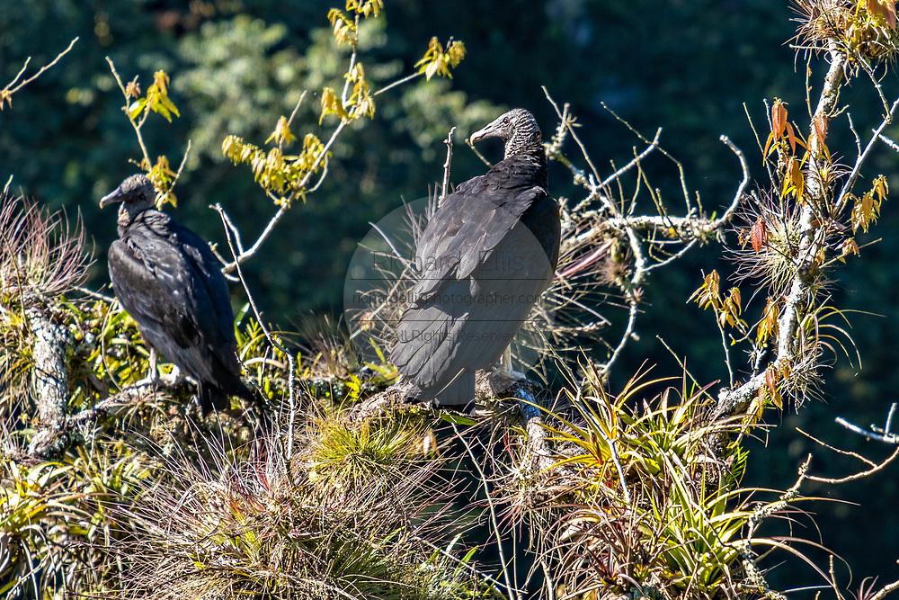 American black vultures gather in a tree at the Cascada de Texolo waterfall near Xico, Veracruz, Mexico.