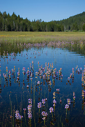 """""""Wildflowers in the Water 1"""" - These wildflowers were flooded by snowmelt at Prosser Reservoir in Truckee, CA."""