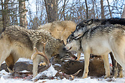 Gray wolves feed on a deer carcass in wooded winter habitat. Captive pack.