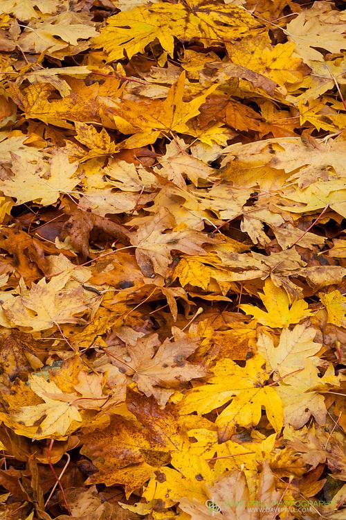 Beautiful fall leaves with a tiny Slug calling it home