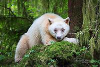 A beautiful white kermode bear in the Great Bear Rainforest, BC, Canada
