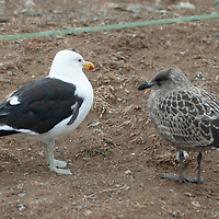 A Kelp Gull and Chilean Skua near a Magellanic penguin rookery on Magdalena Island in the Strait of Magellan, Chile.