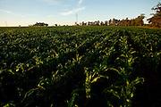 Patos de Minas_MG, Brasil...Plantacao de Milho em Patos de Minas, Minas Gerais..Maize plantation in Patos de Minas, Minas Gerais..Foto: LEO DRUMOND / NITRO