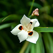 Dietes bicolor (variously known as African iris or fortnight lily) is a clump-forming rhizomatous perennial plant with long sword-like pale-green leaves, growing from multiple fans at the base of the clump. This species belongs to the Iridaceae (Iris) family.