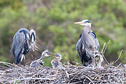 Great blue heron (Ardea herodias) chicks are active in two adjacent nests as their parents look on in a rookery in Everett, Washington. For this image, two images were stacked on top of each other so that both nests would appear in focus.