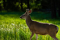 A deer in Yosemite Valley, Yosemite National Park, California USA.