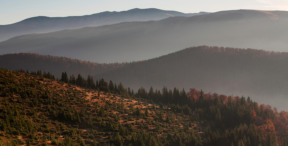 Mixed Common beech (Fagus sylvatica) and Spruce (Picea abies) forests in autum colours at sunrise seen from the road to Muntele Mic. Southern Carpathians, Munții Ṭarcu, Caraș-Severin, Romania.