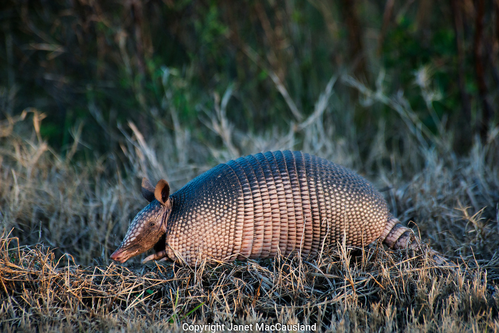 A nine-banded armadillo (Dasypus novemcinctus) is standing up in a park, Georgia, USA. Armadillos are unusual mammals because of their boney body plates. They are widespread, living in warm areas of North, Central, and South America. They weigh 5.5 -14 pounds. Their leathery keratinous skin plates, or scales (osteoderms), protect them form predators when they curl up like a ball.
