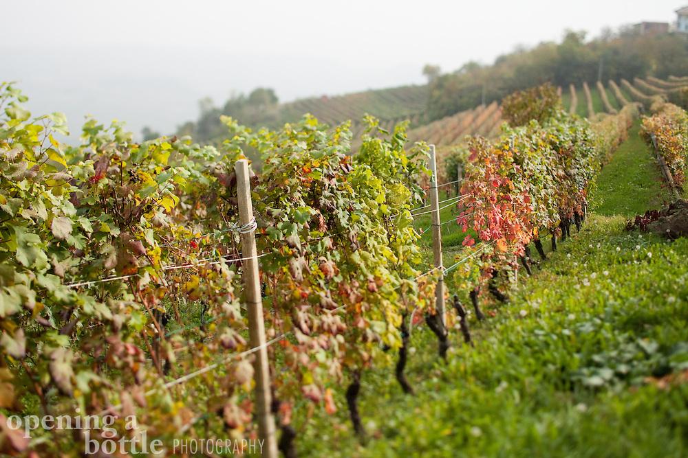 Rows of vineyards in harvest season, bearing nebbiolo grapes, near La Morra (Piedmont), Italy.