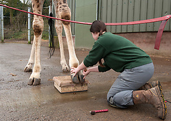 "© Licensed to London News Pictures. 15/02/2017. Wraxall, North Somerset, UK. Celebrity giraffe Gerald gets special foot care, having his own pedicures at Noah's Ark Zoo Farm, Senior Giraffe Keeper Emma Green doing the pedicure and Giraffe Keeper Laura Burgess entertaining Gerald. The giraffe is known for his unlikely bachelor friendship with Eddie the goat and his international quest for love. Gerald's keepers began the foot care routine to treat small cracks in his front hooves to prevent future problems from developing. Using a special training technique based on the close bond with his keeper, Gerald was taught how to present his front feet on a pad for him and allow his keepers to work on his hooves. After just a month's training Gerald now presents both feet on request, knowing the difference between his left and right. He is given a clean, trim and file on both hooves which stops cracks developing and removes any over-growth which would affect his joints when walking if left untended. The 100 acre animal park has a family of four giraffes, 12 year old Gerald, 8 year old Genny and brothers 4 year old George and Geoffrey, 2. Gerald was one of the first 'big zoo' animals to arrive at the zoo, joining Noah's Ark in 2006. Africa Section Head Emma Green carried out Gerald's training and comments: ""Gerald is a visitor favourite at Noah's Ark and I've worked closely with him for 5 years. He's learnt this foot care routine quickly and is very relaxed, allowing us to work closely with him. From his good example we're now planning on doing the same with the rest of the giraffe family."" Photo credit : Simon Chapman/LNP"