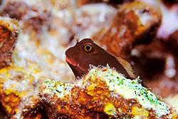 redlip blenny, Ophioblennius atlanticus, Grecian Rocks, Key Largo, Florida, Atlantic Ocean