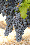 Bunches of ripe grapes. Cabernet Franc. Chateau la Grace Dieu les Menuts, Saint Emilion, Bordeaux, France