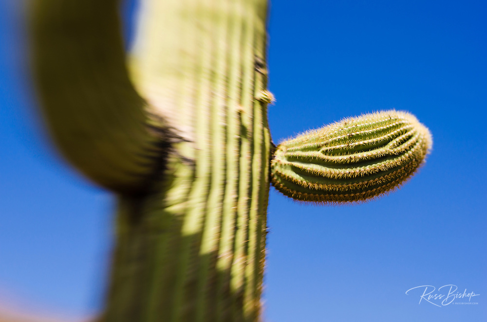 Saguaro cactus in the Ajo Mountains, Organ Pipe Cactus National Monument, Arizona USA